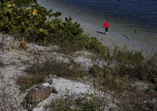 A gopher tortoise suns itself while looking over Matanzas Pass from Bowditch Point Regional Park on Fort Myers Beach on Dec. 10.(Photo: SARAH COWARD/THE NEWS-PRESS)